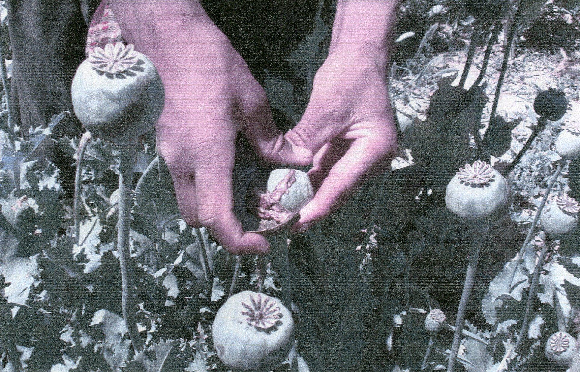 Heroin From Opium Morphine Poppy